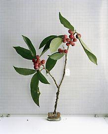moraceae.jpg