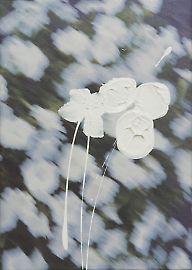 200901flowers1-whitepeduncles.jpg